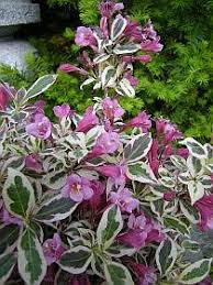 63 best garden ornamental shrubs images on evergreen