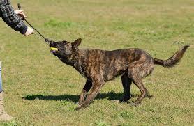 characteristics of a australian shepherd list of guard dogs