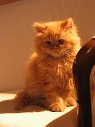 top 15 most cutest cat breeds animals