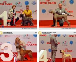 australian shepherd crufts 2015 winners of the world dog show wds 2015 in milan italy 11 14
