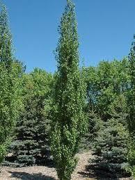 columnar trees calgary columnar fruit trees alberta columnar