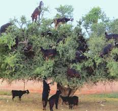 morocco s tree of in decline agroforestry world