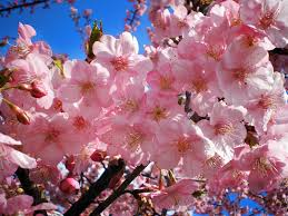 the significance of the cherry blossoms in
