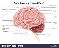 photos diagram of right lateral view of human brain human
