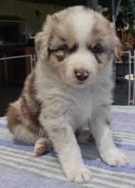 5 week old mini australian shepherd australian shepherds for sale by h and h power aussies
