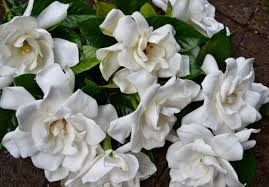 gardenia bouquet wedding flowers from springwell gardenias for white bouquets
