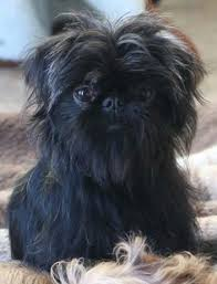 affenpinscher merchandise sweet they almost look human look at those lips lol griffin