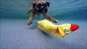 4 u0026 14 month old golden retriever puppies swim with chicken dog
