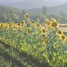 organic hungarian black seeded sunflower seed adaptive seeds