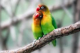 lovebird breeding basics