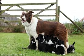 bearded collie montreal star the sheepdog gives birth to adorable 14 pup litter so big