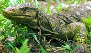 new giant lizard discovery