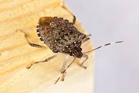 Vermont How Do Bed Bugs Travel images How to get rid of stink bugs in the house facts info etc jpg