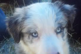 australian shepherd 9 weeks aussies true working dogs featuring australian shepherds and