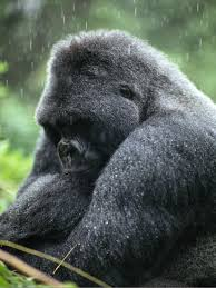 gorilla pictures animal wallpapers national geographic