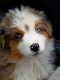 buy a australian shepherd aussie puppies for sale australian shepherds for sale blue eyes