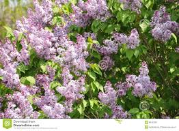lilac tree in bloom royalty free stock image image 9512766