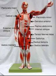 Anatomy And Physiology The Muscular System Muscle Models Anatomy Labeled Anatomy And Physiology Models