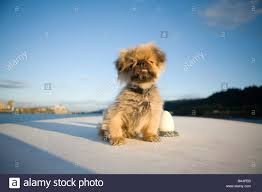 portrait of small toy breed dog on deck of boat stock photo
