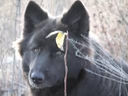 belgian sheepdog breeders ontario animal cruelty in canada u0027s north loki u0027s gift