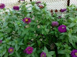zinnia flower zinnia seed mix 100 seeds refining chiles