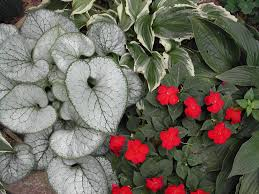 berri native plants nice shade plant combination of jack frost brunnera hosta and