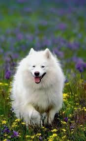 how big is american eskimo dog 65 best american eskimo dog images on pinterest american eskimo