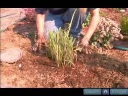 how to propagate ornamental grasses how to water and fertilize