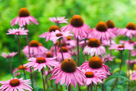 echinacea flower reasons echinacea should grow in every garden
