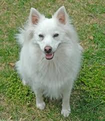 american eskimo dog ireland standard american eskimo dog american eskimo dog pinterest