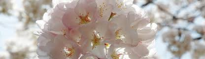 cherry blossom festival u s national park service