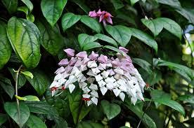 Fabuloso Como cuidar da Lágrima-de-cristo (Clerodendron thomsoniae  @VO89