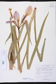 irish native plants iris savannarum species page isb atlas of florida plants