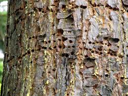 recognizing sapsucker damage on your trees pacific northwest