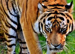 10 ways tigers are used as symbols planet