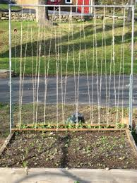 how would you string this pea trellis growing sweet peas beans