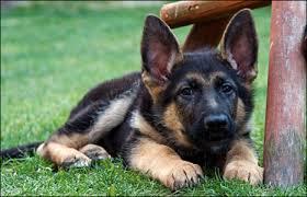 belgian shepherd for sale ireland puppies for sale