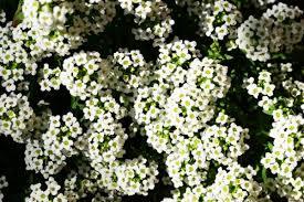 alyssum flowers how to grow sweet alyssum carpet flower gardening channel