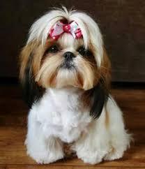 list of shih haircut i want a girl shih tzu shih tzu haircuts cute bows maltese