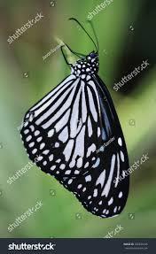 danaus melanippus aka white tiger butterfly stock photo 706635436