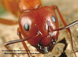 Ants In Backyard Best 25 Black Carpenter Ants Ideas On Pinterest Dragonfly