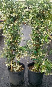 star jasmine on trellis star jasmine trachelospermum jasminoides ascot vale garden centre