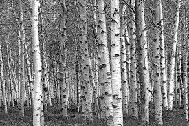 white tree white birch tree forest grove no 0651 a black and white
