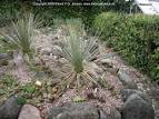 Image result for Yucca glauca var. glauca