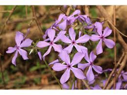 Phlox Flower Phlox Divaricata Wild Blue Phlox Npin
