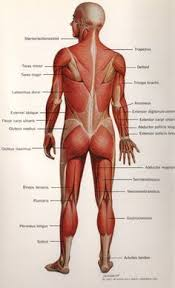 Fundamentals Of Anatomy And Physiology Third Edition Study Guide Answers Free Diagrams Human Body Human Anatomy Is The Study Of Structure