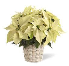 white poinsettia white poinsettia plant in basket nationwide ftd poinserttia delivery