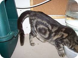 Seeking Bullseye Morriston Fl Bengal Meet Bullseye A Cat For Adoption