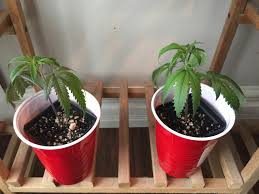 No Light Plants Help Clones Are Droopy But Water Levels Are Ok