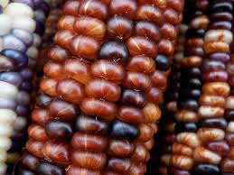 caring for ornamental corn plants how to grow ornamental indian corn